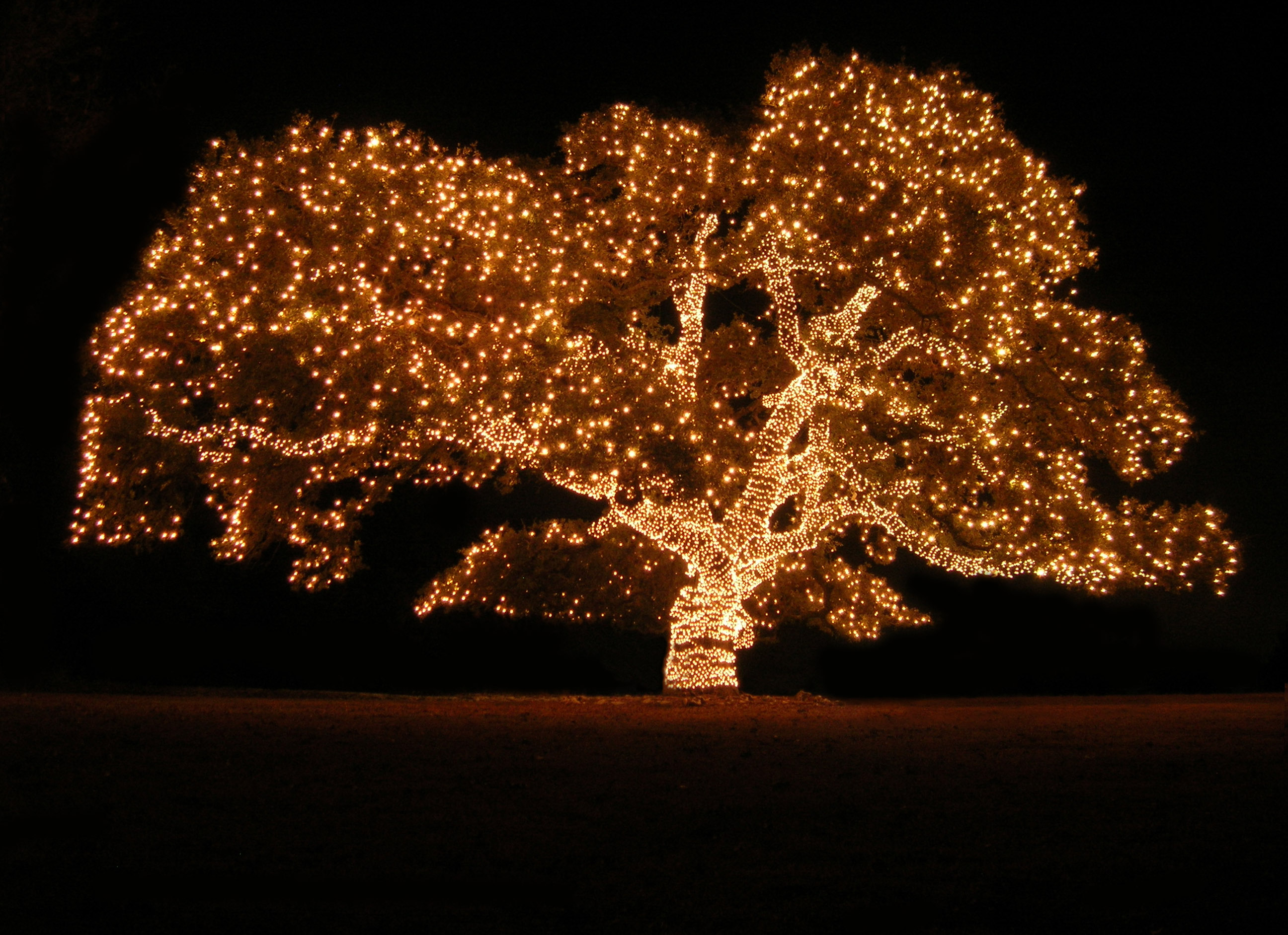 How To String Lights On A Maple Tree : Marin County and San Francisco Winter Wonderland