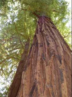redwood-tree-2004-07-19-250w_333